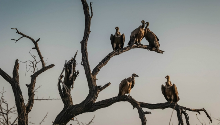 vultures in tree
